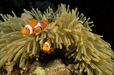 Blackfinned Clownfish (Amphiprion percula) guarding eggs laid beside their Magnificent Sea Anemone (Heteractis magnifica) host, Kimbe Bay, Papua New Guinea  -  Fred Bavendam