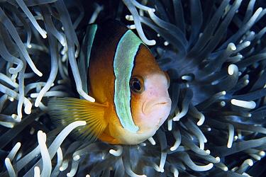 Clark's Anemonefish (Amphiprion clarkii) nestled in Anemone, Manado, North Sulawesi, Indonesia  -  Fred Bavendam