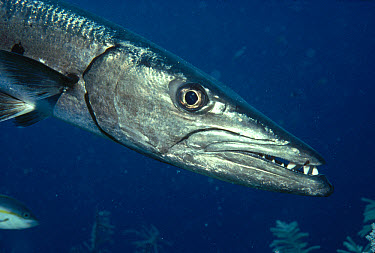Great Barracuda (Sphyraena barracuda) portrait, South Caicos Island, British West Indies, Caribbean  -  Fred Bavendam