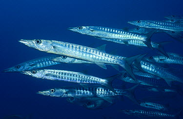 Blackfin Barracuda (Sphyraena qenie) school off of Lizard Island, Great Barrier Reef, Queensland, Australia  -  Fred Bavendam
