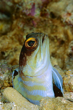 Spotfin Jawfish (Opistognathus sp) peeking out of burrow, Manado, Sulawesi, Indonesia  -  Fred Bavendam