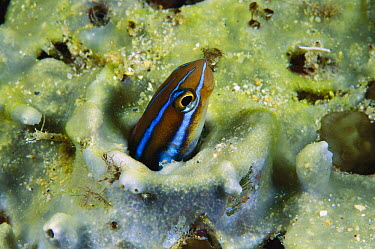 Blue-striped Blenny (Plagiotremus rhinorhynchos) peering out of abandoned worm hole in coral, Manado, Sulawesi, Indonesia  -  Fred Bavendam