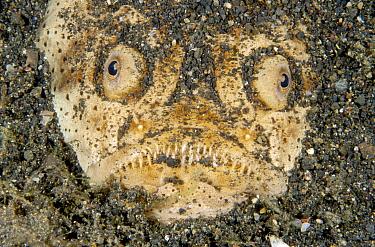 Whitemargin Stargazer (Uranoscopus sulphureus) lying buried in the sand waiting for prey, Lembeh Strait, Indonesia  -  Fred Bavendam
