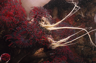 Feather Duster Worm (Eudistylia vancouveri) pair spawning, Quadra Island, British Columbia, Canada  -  Fred Bavendam