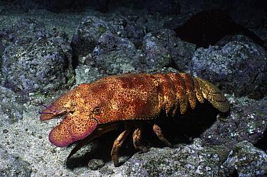 Galapagos Slipper Lobster (Scyllarides astori) portrait, Jervis Island, Galapagos Islands, Ecuador  -  Fred Bavendam