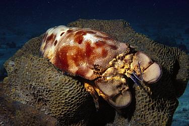 Spanish Slipper Lobster (Scyllarides aequinoctialis), South Caicos, British West Indies, Caribbean  -  Fred Bavendam