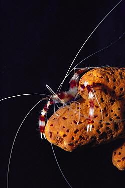 Banded Coral Shrimp (Stenopus hispidus) with long antennae, Bonaire, Caribbean  -  Fred Bavendam