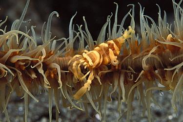Black Coral Shrimp (Pontonides unciger) living on a black Coral Sea whip (Cirripathes sp), Milne Bay, Papua New Guinea  -  Fred Bavendam