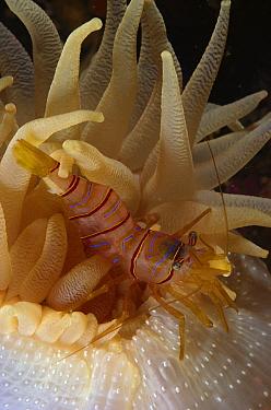 Clown Shrimp (Lebbeus grandimanus) living with a Fernald Brooding Anemone (Cribrinopsis fernaldi), British Columbia, Canada  -  Fred Bavendam