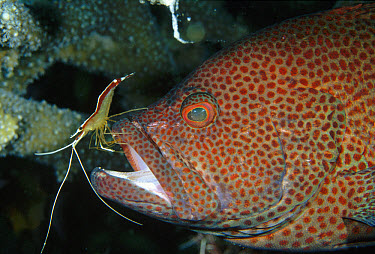 Scarlet Cleaner Shrimp (Lysmata amboinensis) working on a Tomato Grouper (Cephalopholis sonnerati), Milne Bay, Papua New Guinea  -  Fred Bavendam