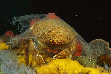 Sponge Crab (Austrodromidia octodentata) with clear plastic over its shell instead of a sponge, Edithburgh, Australia  -  Fred Bavendam