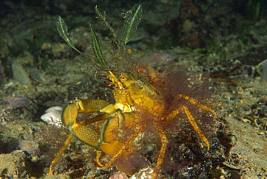 Spider Crab (Majidae) attaches pieces of algae to shell to provide camouflage, Edithburgh, Australia  -  Fred Bavendam