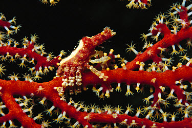 Crab (Xenocarcinus sp) living on a Gorgonian Sea Fan, Milne Bay, Papua New Guinea  -  Fred Bavendam