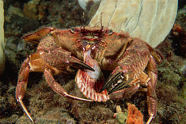 Rock Crab (Nectocarcinus integrifrons) eating a scallop, Edithburgh, South Australia  -  Fred Bavendam