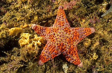 Firebrick Sea Star (Asterodiscides truncatus) portrait, underwater, Jarvis Bay, New South Wales, Australia  -  Fred Bavendam
