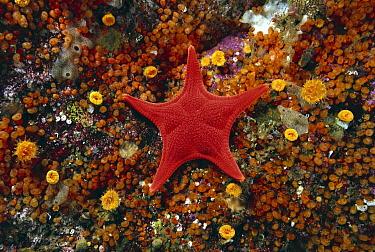 Sea Star (Mediaster aequalis) and Taylor's Colonial Tunicates (Metandrocarpa taylori), British Columbia, Canada  -  Fred Bavendam