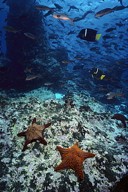 Gulf Star (Oreaster occidentalis) pair and King Angelfish (Holacanthus passer) school, Galapagos Islands, Ecuador  -  Fred Bavendam