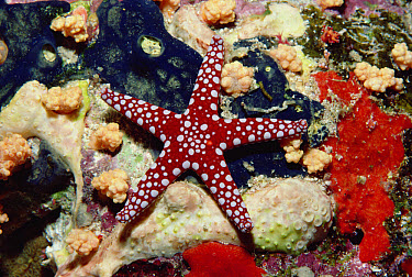 Starfish (Fromia sp) and corals on reef, Red Sea, Egypt  -  Fred Bavendam
