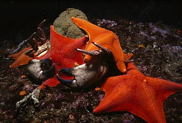 Bat Star (Asterina miniata) group scavenging on dead Pacific Rock Crab (Cancer antennarius), Monterey Bay, California  -  Fred Bavendam