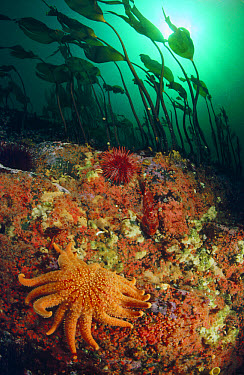 Sunflower Sea Star (Pycnopodia helianthoides) crawling amidst Kelp, Sponge, Sea Anemones, Sea Urchins, and a Sculpin, Quadra Island, British Columbia, Canada  -  Fred Bavendam
