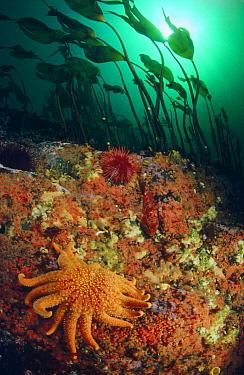 Sunflower Sea Star (Pycnopodia helianthoides) crawling amidst Kelp, Sponge, Sea Anemones, Sea Urchins, and a Sculpin, Quadra Island, British Columbia, Canada  -  Fred Bavendam