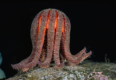Sunflower Sea Star (Pycnopodia helianthoides) female, spawning, standing on her tiptoes while releasing a thin stream of eggs into the ocean, British Columbia, Canada  -  Fred Bavendam