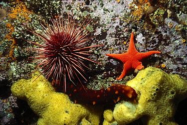 Sea Star (Mediaster aequalis), California Sea Cucumber (Parastichopus californicus) and Red Sea Urchin (Strongylocentrotus franciscanus), British Columbia, Canada  -  Fred Bavendam