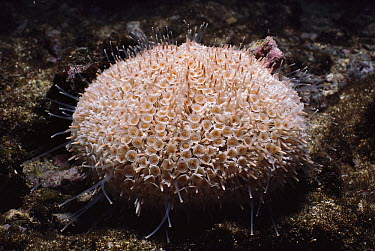 Flower Urchin (Toxopneustes roseus) with tentacles extended to feed, Galapagos Islands, Ecuador  -  Fred Bavendam