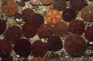 Sand Dollar (Echinarachnius parma) group, Schoodic Point, Acadia National Park, Maine  -  Fred Bavendam