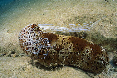 Leopard Sea Cucumber (Bohadschia argus) ejects mass of long white sticky tubules as a defense, Australia  -  Fred Bavendam