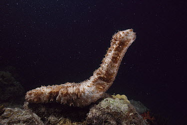 Sea Cucumber (Bohadschia graeffei) spawning, Great Barrier Reef, Australia  -  Fred Bavendam