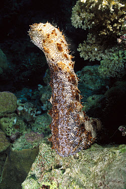 Sea Cucumber (Bohadschia graeffei) male, standing up to release sperm during spawning, Milne Bay, Papua New Guinea  -  Fred Bavendam