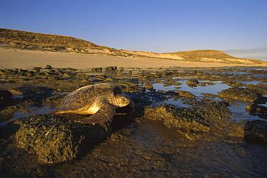 Green Sea Turtle (Chelonia mydas) female returning to sea after laying her eggs, Australia  -  Fred Bavendam