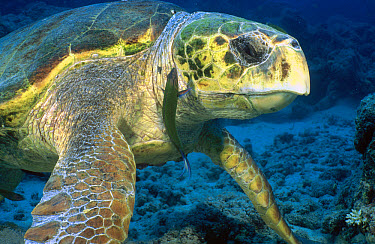 Loggerhead Sea Turtle (Caretta caretta), Lizard Island, Great Barrier Reef, Australia  -  Fred Bavendam