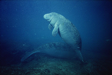 West Indian Manatee (Trichechus manatus) young with the bumpy skin, condition typical of calves at Kings Bay, Crystal River, Florida  -  Fred Bavendam