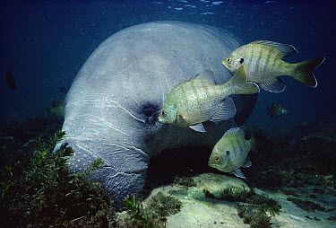 West Indian Manatee (Trichechus manatus) has algae on skin picked of by fish as it dozes in the shallows, Kings Bay, Crystal River, Florida  -  Fred Bavendam