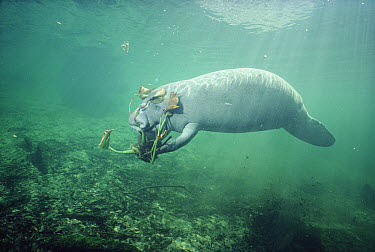 West Indian Manatee (Trichechus manatus) eating Hydrilla (Hydrilla sp) an introduced plant that often clogs waterways, Blue Spring State Park, Florida  -  Fred Bavendam