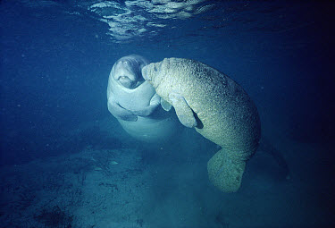 West Indian Manatee (Trichechus manatus) mother with young affected by skin disorder, Kings Bay, Crystal River, Florida  -  Fred Bavendam