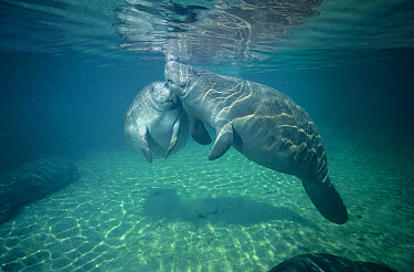West Indian Manatee (Trichechus manatus) mother and calf nuzzling, Kings Bay, Crystal River, Florida  -  Fred Bavendam