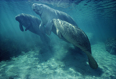 West Indian Manatee (Trichechus manatus) cow nursing a small orphaned calf, Kings Bay, Crystal River, Florida  -  Fred Bavendam
