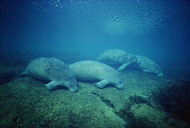 West Indian Manatee (Trichechus manatus) group dozing in the shallows at the main spring near Banana Island, Kings Bay, Crystal River, Florida  -  Fred Bavendam