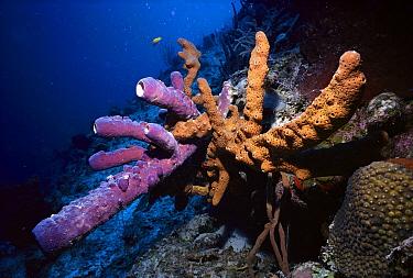 Sponge (Verongia lacunosa), South Caicos, British West Indies, Caribbean  -  Fred Bavendam