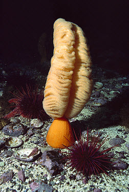 Orange Sea Pen (Ptilosarcus gurneyi) with sea urchins, Vancouver Island, British Columbia, Canada  -  Fred Bavendam