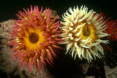 Fish-eating Sea Anemone (Urticina piscivora) pair underwater, Barkley Sound, British Columbia, Canada  -  Fred Bavendam