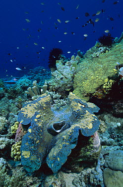 Giant Clam (Tridacna gigas) on reef showing siphon, Milne Bay, Papua New Guinea  -  Fred Bavendam