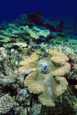 Giant Clam (Tridacna gigas) on ocean floor, Milne Bay, Papua New Guinea  -  Fred Bavendam