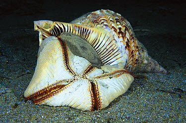 Atlantic Trumpet Triton (Charonia tritonis) eating a Pincushion Sea Star (Culcita novaeguineae), Milne Bay, Papua New Guinea  -  Fred Bavendam