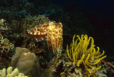 Broadclub Cuttlefish (Sepia latimanus) near crinoid, Manado, Sulawesi, Indonesia  -  Fred Bavendam