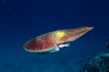 Broadclub Cuttlefish (Sepia latimanus), Andaman Sea, Thailand  -  Fred Bavendam