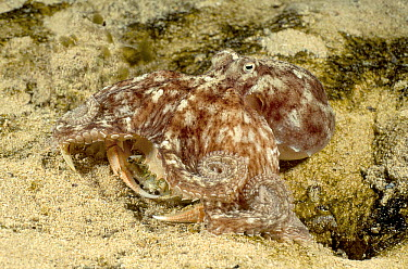 Southern Keeled Octopus (Octopus berrima) with a Sand Crab (Ovalipes sp) it has captured to eat, Edithburgh, South Australia  -  Fred Bavendam